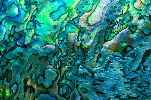 Ocean Abalone